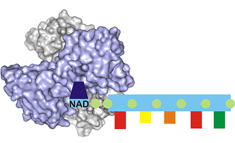 Model of the NudC enzyme