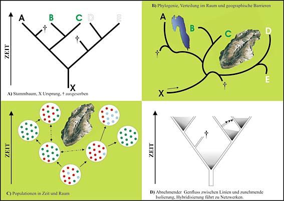 Häufig lassen sich Stammbäume von Arten (A) auf geographische Räume projizieren (B). Auch Populationen können solche Muster aufweisen (C), aber genetisch ist die Situation weitaus komplexer (D), da alle Übergänge von Genfluss bis zu völliger Isolation möglich sind.