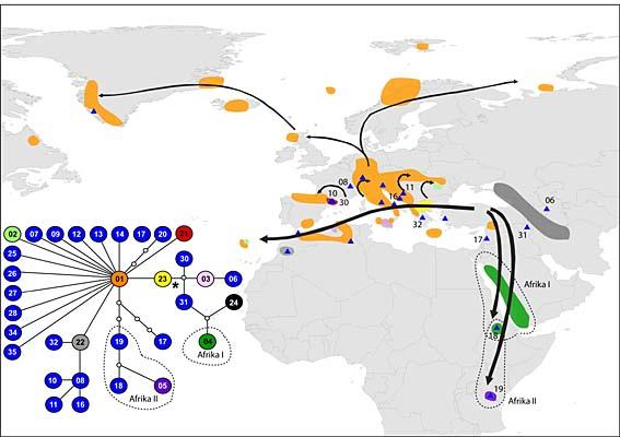 Die Verbreitung von Arabis alpina, der Alpengänsekresse, über den euroasiatischen und afrikanischen Raum lässt sich anhand der mütterlich vererbten Chloroplasten-DNS nachvollziehen. Die relative Verwandtschaft ist im Netzwerk aufgezeigt (im Bild links unten; * = vermutlicher evolutionärer Ursprung). Die kleinen Dreiecke repräsentieren Typen von Chloroplasten-DNS, die im gesamten Datensatz nur einmal aufgetreten sind.