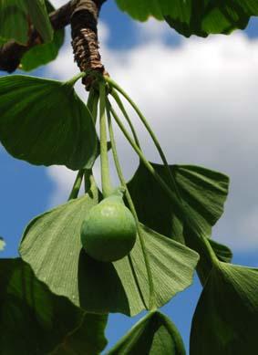 """""""Frucht"""" des Gingko-Baumes, aufgenommen im Botanischen Garten der Universität Heidelberg"""