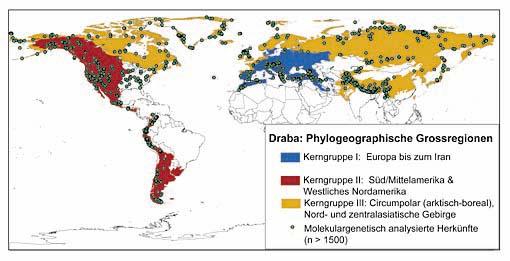 Die Verbreitung des Hungerblümchens (Gattung Draba). Mit den Farben blau, rot und gelb unterlegt ist die stammesgeschichtliche Zuordnung zu einer der drei evolutionären Hauptlinien.