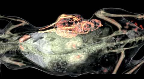 Klare Verhältnisse: Hochauflösende bildgebende Verfahren machen das Skelett und die inneren Organe im Körper einer Maus deutlich sichtbar. Ebenso deutlich zu erkennen ist der Tumor in der Flanke. Aufgrund der massiven Entwicklung neuer Blutgefäße (rot, gelb) wird die Geschwulst extrem gut mit Blut versorgt.